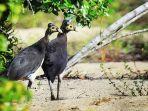 burung-maleo-macrocephalon-maleo-yang-menjadi-andalan-wisata-di-gorontalo.jpg