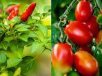 cabai-dan-tomat-untuk-sambal.jpg