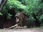 delapan-ekor-singa-di-kebun-binatang-india-positif-covid-19.jpg