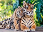 harimau.jpg