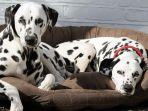 ilustrasi-anjing-dalmatian.jpg