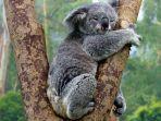 ilustrasi-koala-789.jpg
