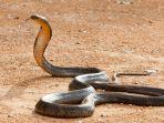 ilustrasi-ular677.jpg