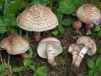 jamur-jenis-deadly-dapperling-lepiota-brunneoincarnata.jpg