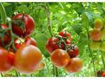 manfaat-tomat.jpg
