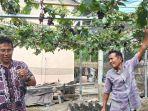petani-anggur-di-jalan-anggur-kelurahan-boyaoge-kecamatan-tatanga.jpg