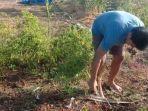 petani-di-kabupaten-jeneponto-mencabuti-pohon-cabai.jpg