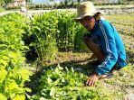 petani-memanen-sayuran-di-ladang-jalan-anggur-kecamatan-tatanga-palu.jpg