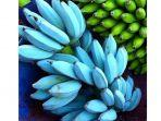 pisang-blue-java-pisang-biru-dengan-rasa-vanila.jpg