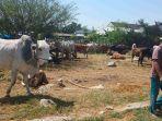 puluhan-ekor-sapi-tampak-sudah-disiapkan-pedagang-di-pusat-penjualan-ternak-sapi.jpg