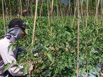 salah-seorang-petani-di-desa-kotarindau-kecamatan-dolo-sigi.jpg