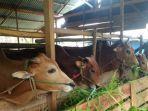 sapi-untuk-hewan-kurban-di-kabupaten-belitung-rabu-182018.jpg