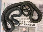 ular-tikus-yang-ditemukan-di-dalam-toilet-rumah-di-inggris.jpg