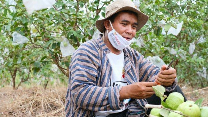 Kisah Aiptu Mulyanto Tanam Jambu Kristal dan Bantu Ekonomi Warga