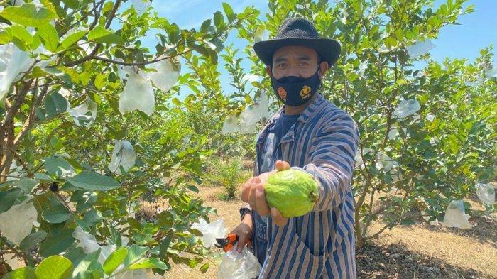 Cerita Aiptu Mulyono 'Pak Mul' Kelola Tanah Desa Dukuhwaringin Tegal Jadi Agrowisata Jambu Kristal