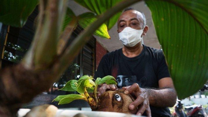 Uniknya Bonsai Tunas Kelapa Karakter Wajah Karya Totok di Batang, Begini Proses Pembuatannya