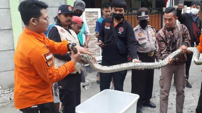 Ular Sanca Sepanjang 2,5 Meter Bikin Kaget, Masuk Rumah Warga Sumurpanggang Kota Tegal