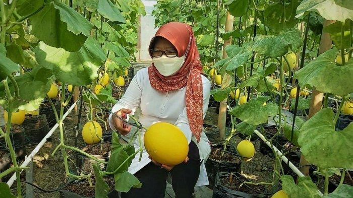 Fakhrur Olah Lahan 250 Meter Persegi untuk Budidaya Melon di Tegal, Sekali Panen Raup Rp21 Juta