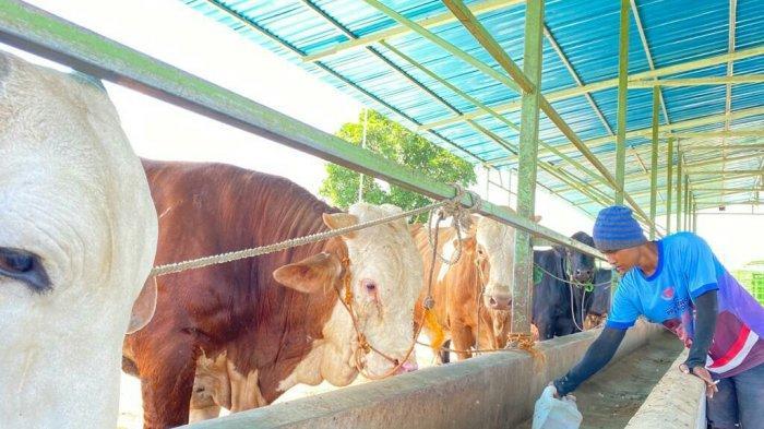Harga Jual Sapi di Kabupaten Tegal Naik Jelang Idul Adha