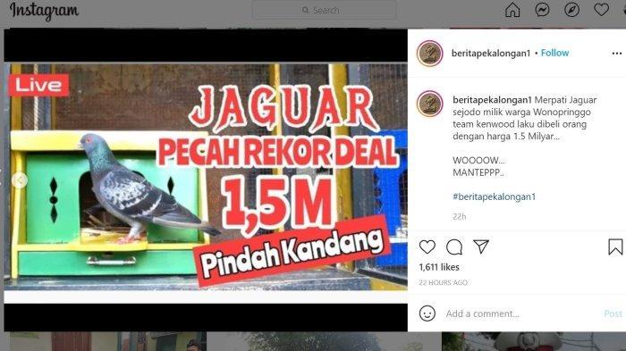 Merpati kolong bernama Jaguar, yang semula milik warga Kabupaten Pekalongan berpindah tangan kepada seseorang dari Jakarta, setelah ditebus Rp1,5 miliar.