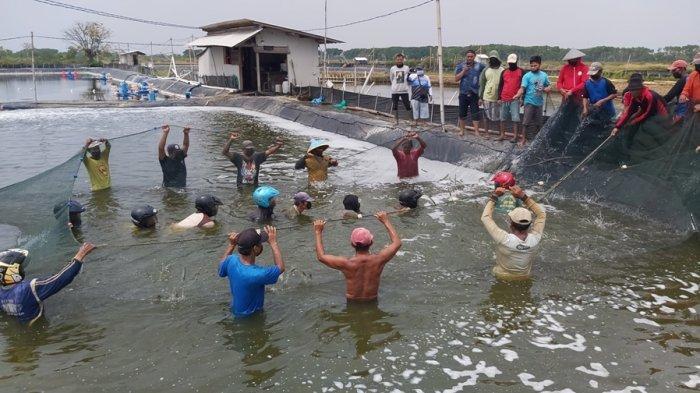 Warga Pekalongan Berhasil Budidaya Udang Vaname di Tanah Rawa, Sekali Panen Capai 6,5 Ton