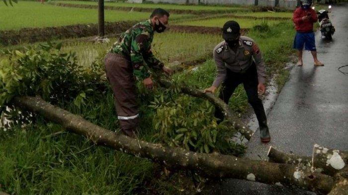 Antisipasi Terjangan Angin Kencang, Pohon-pohon Besar di Kabupaten Pekalongan Dipangkas