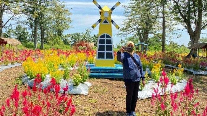 Indahnya Taman Bunga Celosia, Objek Wisata Baru di Kabupaten Tegal, Tiket Masuk Hanya Rp5.000