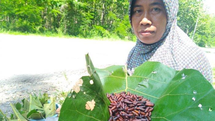 Ungker, Kepompong Ulat Jati Kuliner Ekstrim Khas Blora, Murmer Rp10.000 Per Ons, Berani Coba?