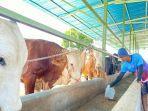 ekerja-sedang-memberikan-makan-pada-sapi-yang-ada-di-kandang-berlokasi-di-desa-bogares.jpg