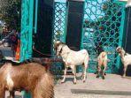 ilustrasi-kambing-kurban-yang-hendak-disembelih-pada-perayaan-iduladha.jpg