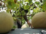 panen-melon-batang-1.jpg
