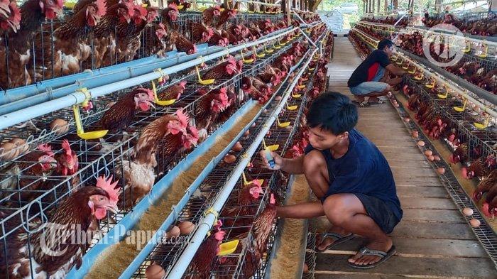 Selain Tolak Ikan Tawar dari Jayapura, PT Pangansari Utama Juga Tak Gunakan Telur Ayam Lokal
