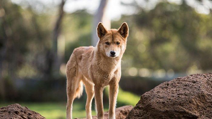 ANJING PURBA - Anjing Papua atau Canis Dingo Hallstromi, anjing ini adalah spesies anjing purba yang ada di dataran tinggi Papua.