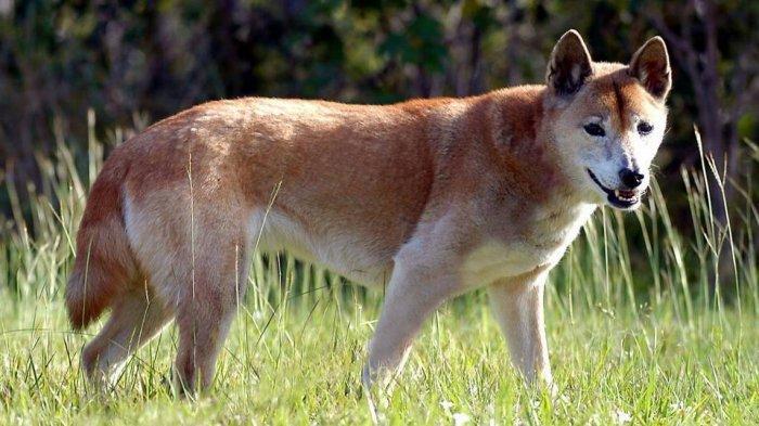 Awas ! Berbahaya Mengkonsumsi Daging Anjing yang Diracun