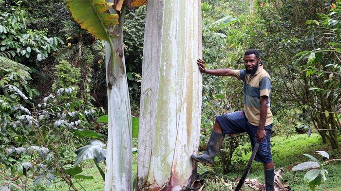 Hampir Punah, Pisang Raksasa di Papua Barat Jadi Obat Malaria bagi Masyarakat Adat