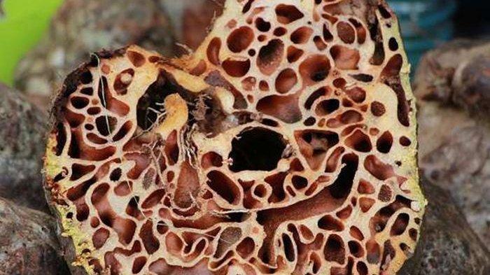 Sarang Semut Papua, Menyimpan Khasiat Manjur dalam Menyembuhkan Berbagai Penyakit