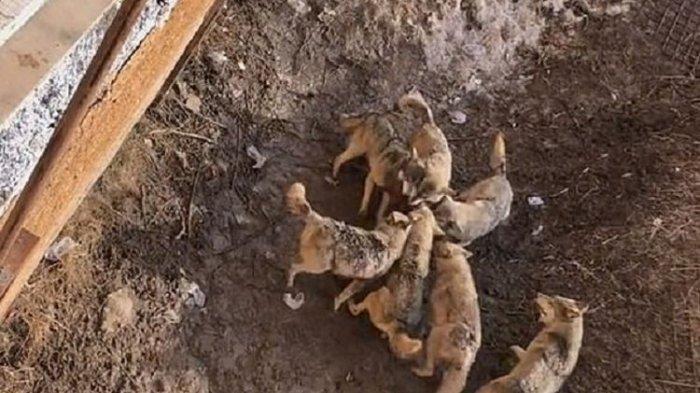 Anjing Jenis Shichon Jadi Santapan Kawanan Serigala, Pemiliknya Tak Sengaja Jatuhkan ke Kandang