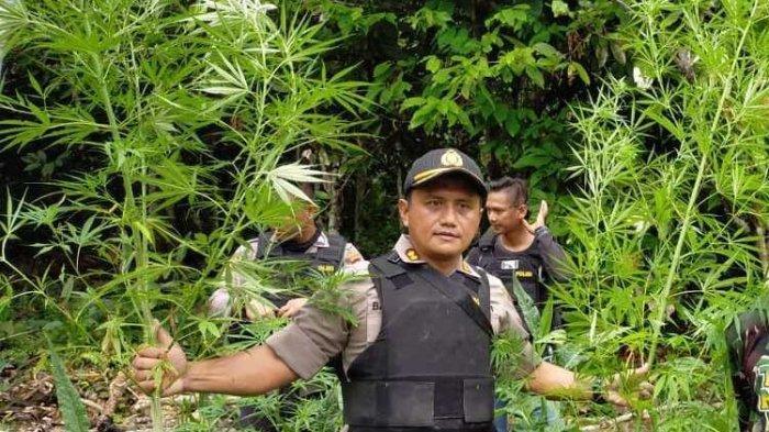 Polisi Temukan Ladang Ganja Seluas 1 Hektare di Keroom Papua, Ada di Perbatasan Indonesia dan PNG