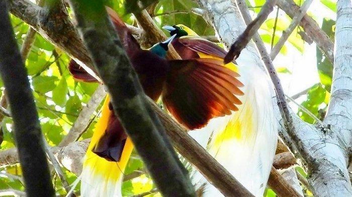 Mahkota Burung Cenderawasih Hanya Untuk Kepala Suku, Bukan Pejabat Pemerintahan