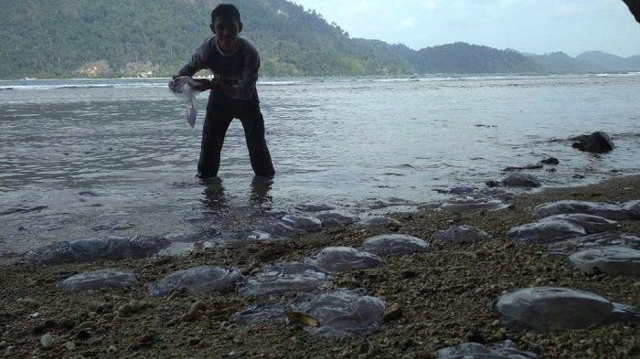 Penjelasan BMKG soal Fenomena Ubur-ubur Bergelimpangan di Bibir Pantai Pesisir Selatan Sumbar