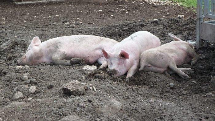 Virus Baru Ditularkan dari Babi Ditemukan di China, Ilmuwan Sebut Berpotensi Menjadi Pandemi