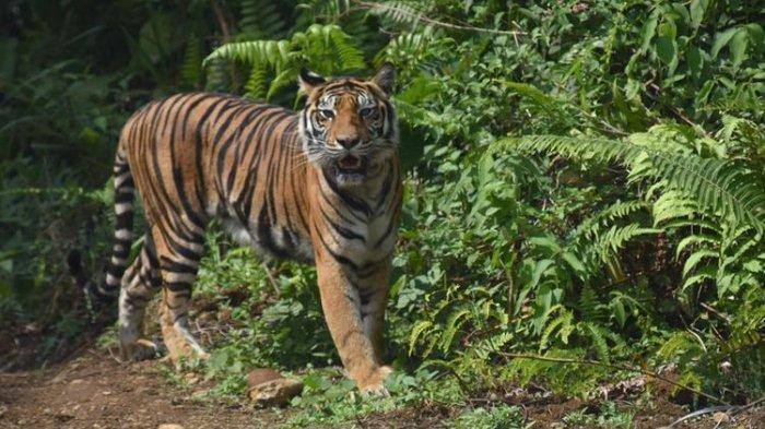 Tak Takut Berhadapan dengan Harimau yang Mangsa Kambingnya, Sinaga: Saya Bentak Tiga Kali