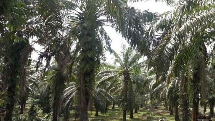 Kasus Pencabutan Izin Usaha Perkebunan di Sorong Bukti Moratorium Sawit Wajib Diperpanjang