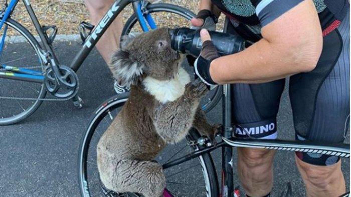 Akibat Kebakaran Hebat, Pulau Australia Kehilangan Setengah Populasi Koala