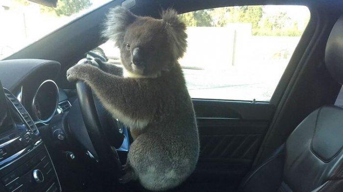 Video Kecelakaan Beruntun Gara-gara Koala, Pengemudi: Mereka Mencoba Menangkapnya dengan Selimut