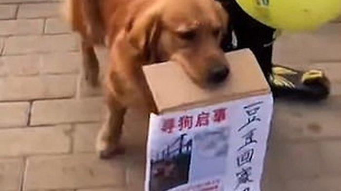 Viral Video Anjing Berkeliaran Cari Sahabatnya yang Hilang, Bawa Selebaran Informasi Pencarian
