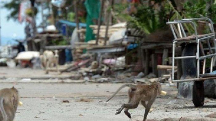 Video Ratusan Monyet Curi Makanan karena Kelaparan, Dampak Turis Sepi karena Pandemi Covid-19