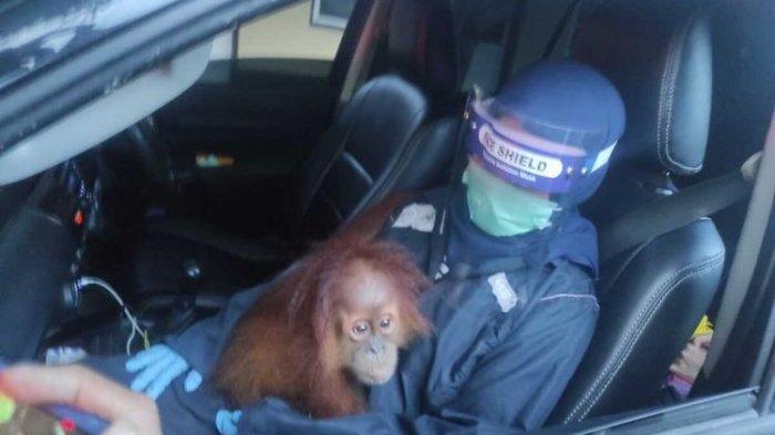 Petugas BBKSDA Mengaku Dilempari Batu saat Ambil Orangutan, Warga: Gak Tau, Jangan Nanti Ada Asumsi