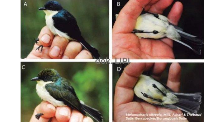 LIPI: Jenis Baru Burungbuah Ditemukan di Papua Barat