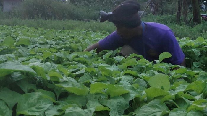 Petani  di Abepantai Jayapura Menggunakan Pupuk Olahan Untuk Menanam Bayam
